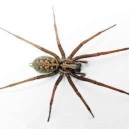 house spider oregon spiders in oregon species pictures