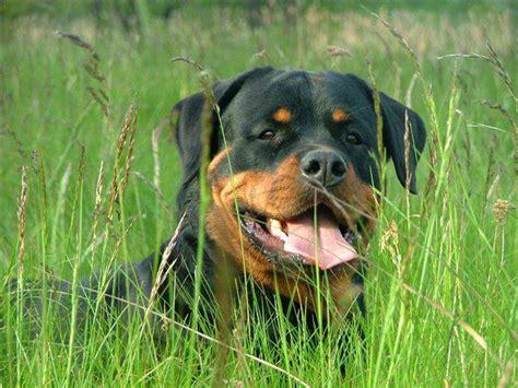 10 bīstamākās suņu šķirnes - Spoki