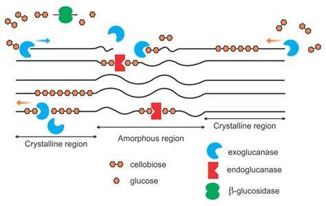 Enzymatic Cycle Diagram by A Simplified Schematic Representation Of The Enzymatic