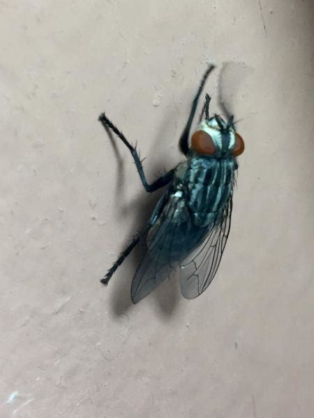 large black flies suddenly  mysteriously appearing
