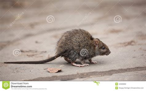 scared dirty gray mouse stock photo image