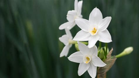 todd goulding offers tips  growing paperwhite narcissus