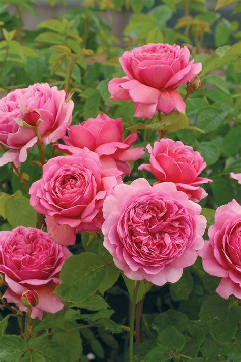austen roses david austin roses distinct vision