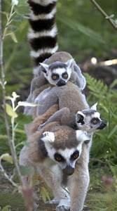 122 best lemurs... Cute Lemur Quotes