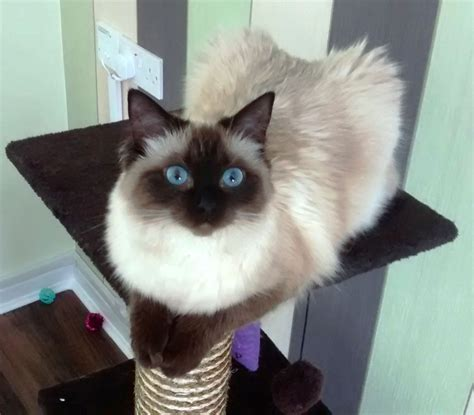 Female Seal Point Ragdoll Kitten For Sale  Stoke On Trent