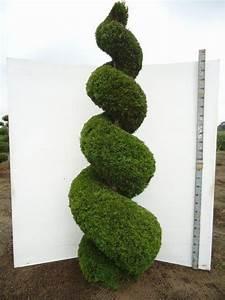 Thuja Baum Spitze Schneiden : thuja occidentalis smaragd spirale in der gr e 250 300cm tolle gartenpflanzen in spiral form ~ Pilothousefishingboats.com Haus und Dekorationen