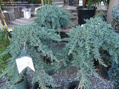 plantfiles pictures japanese garden juniper nana