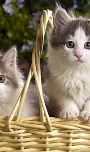 Siberian cat kitten « Nat Geo Adventure