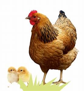 Nourriture Poule Pondeuse Pas Cher : alimentation poules pondeuses dogteur alimentation poules pondeuses nos conseils pour bien les ~ Melissatoandfro.com Idées de Décoration