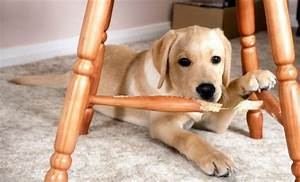 Vetico chewing destructive behaviour in dogs for Dog keeps chewing bed