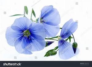 Blue Flowers On White Background Stock Photo 30834439 ...