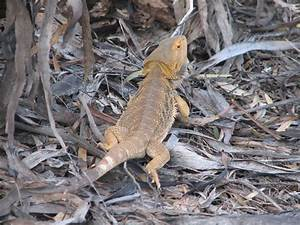 Bearded Dragon lizard, Murray-Sunset National Park ...