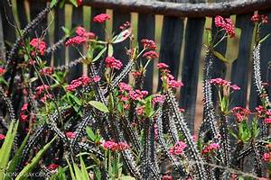Crown of Thorns plant (Euphorbia milii)
