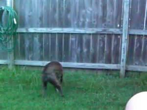 boxer climbing   fence  spidermanmp youtube