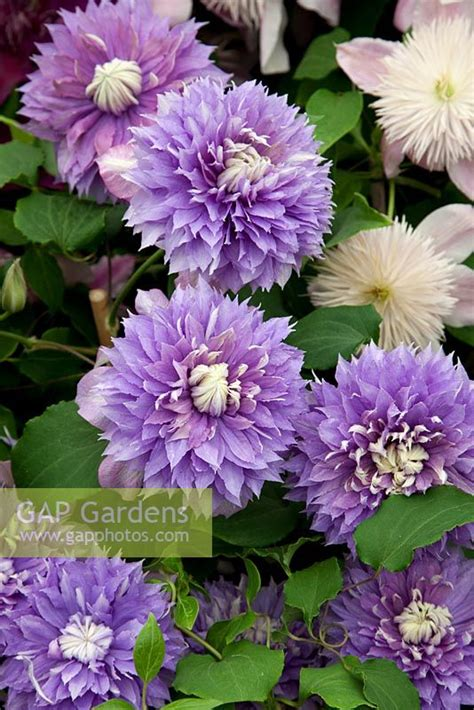 Clematis 'Diamantina... stock photo by Michael Howes ...