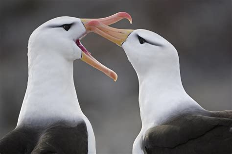 courtship behavior by a pair photograph by frans lanting