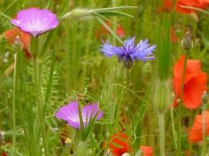 Graines Fleurs Des Champs : semer des graines de fleurs en pleine terre fleurs annuelles les semer et les planter le semis ~ Melissatoandfro.com Idées de Décoration