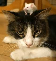 cat and mouse toxoplasma infection permanently shifts balance in cat and