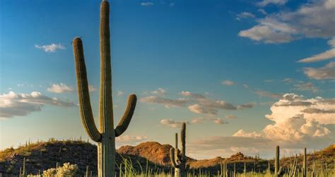 Things to See in the Sonoran Desert: The Saguaro Cactus