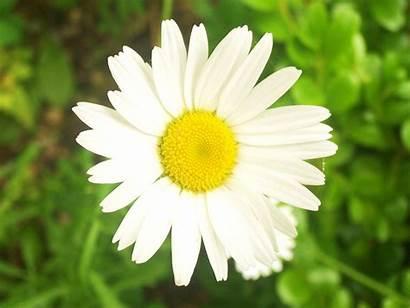 Flower Daisy Avatar Flowers Plant Break Parts