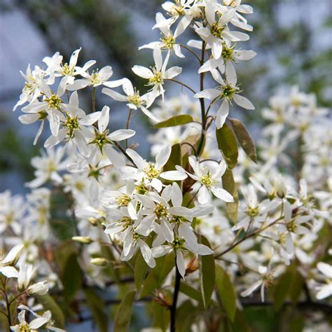 9 Recommended Species of Serviceberry Trees and Shrubs