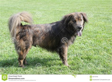 Shed Free Large Dogs by Large Brown Dog With Long Hair Stock Photos Image 32113753