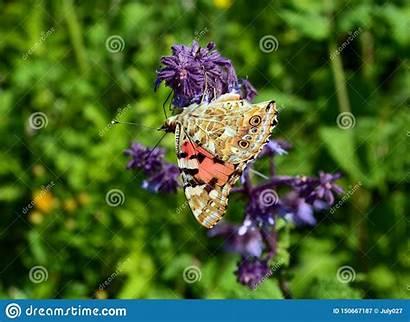 Steppe Flower Braun Steppa Siede Farfalla Grandi