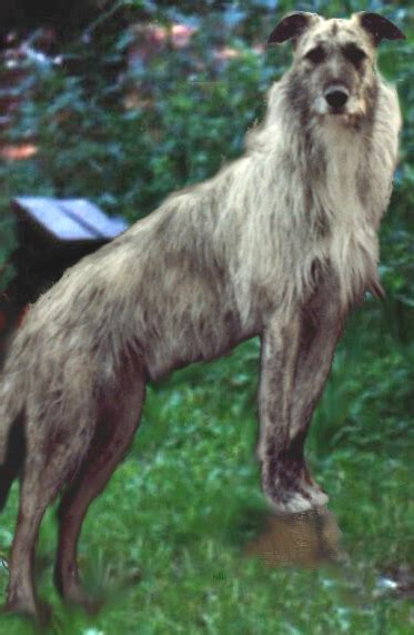 lurcher wikimedia commons