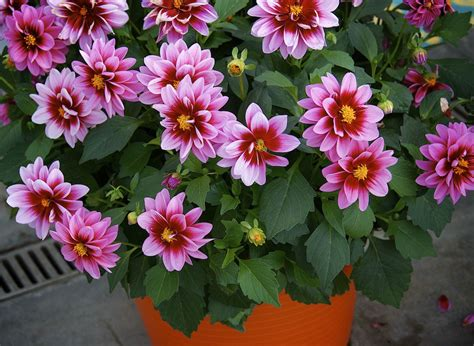 grow dahlia how to grow dahlias in pots