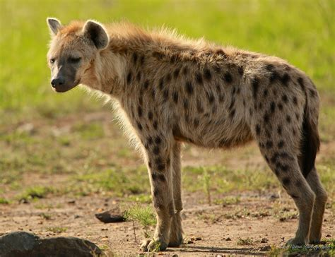 black and white striped runner spotted hyena steve upton photography