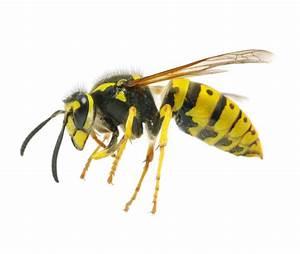 Stehen Wespen Unter Naturschutz : wespen entfernen alle infos ber wespenentfernung ~ Whattoseeinmadrid.com Haus und Dekorationen