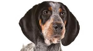 1000 ideas about bluetick coonhound on hound blue tick beagle and hound