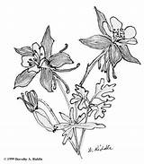 Columbine Flower Colorado Coloring Tattoo Sketch Sketches Drawing Flowers Drawings Google Botanical Permanent Illustration Painting Tattoos sketch template