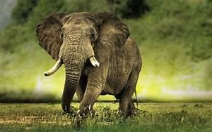 wallpaper: African Elephant Wallpapers