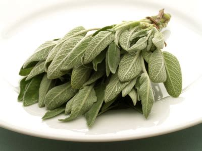 la sauge en cuisine sauge planter cultiver récolter de la sauge pratique fr