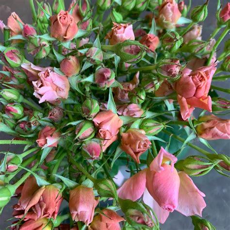 Wabara Sola Garden Spray Roses | Florabundance Wholesale ...