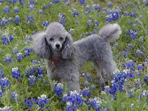 images  poodle perfect  pinterest poodles