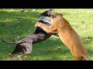 Wild animal attack dog. Pit bull vs tiger. Leopard attacks ...