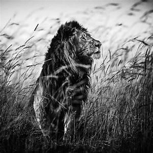 Tableau Lion Noir Et Blanc : 20 ~ Dallasstarsshop.com Idées de Décoration