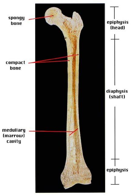 Long bones are one of the five bone types that are classified by shape. Four things about... (a simple approach to anatomy and physiology): December 2011