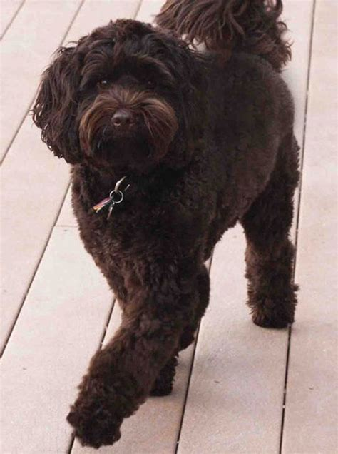 Non Shedding Dogs Australia by 17 Best Ideas About Labradoodle Temperament On