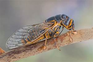 A Comparison Between Locusts And Cicadas to Help You ...