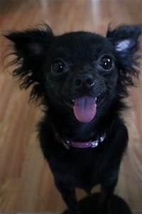 Black Long Hair Chihuahua … | Pinteres…