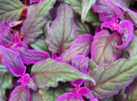 purple flower vine plants purple passion vine gynura sarmentosa buy it now
