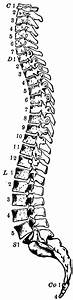Side View Of The Spinal Column