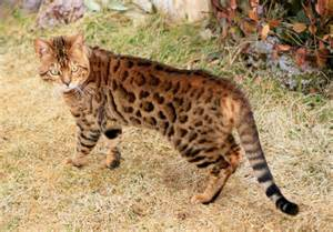 what is a bengal cat considering a bengal cat 1 thing you should