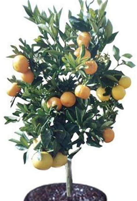 citrus salad tree landscape design fruit salad tree