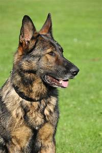 Brindle German Shepherd: 8 Rare Facts and Info
