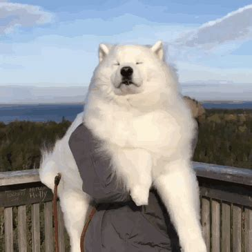 samoyeds   contenders   cutest dog breed