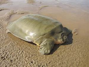 Nest of endangered giant softshell turtle found as 115 new ...